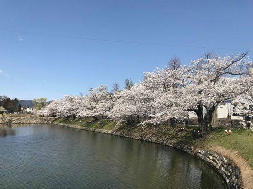 松本城 桜 2018.jpg